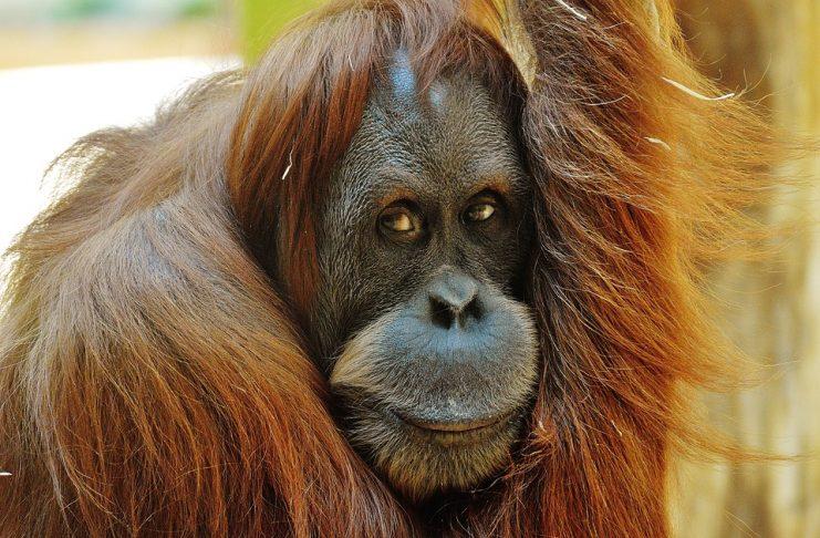 Orangutanes y aceite de palma
